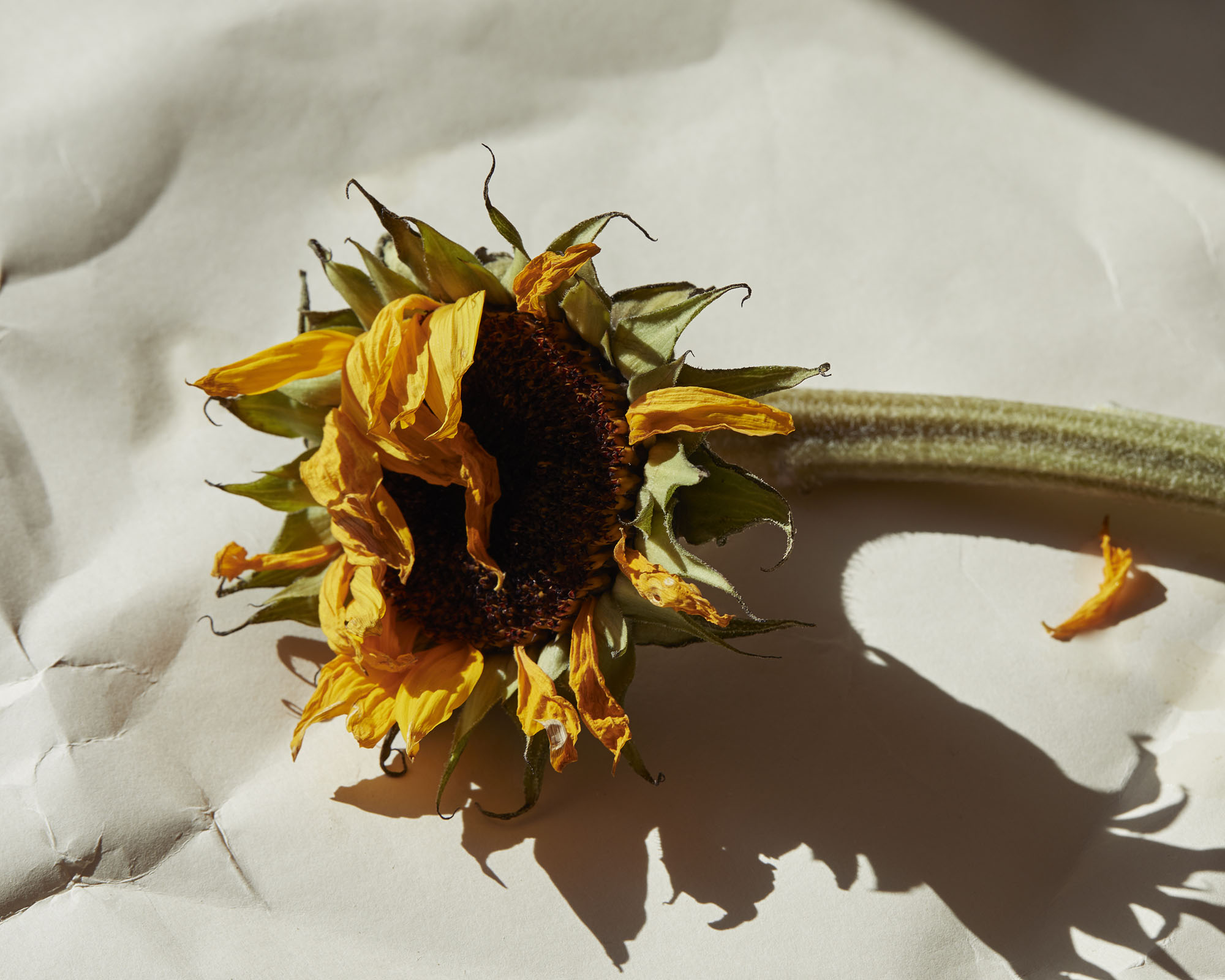 A still life image of a sunflower with hard window light